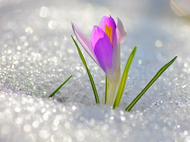 крокус в снегу