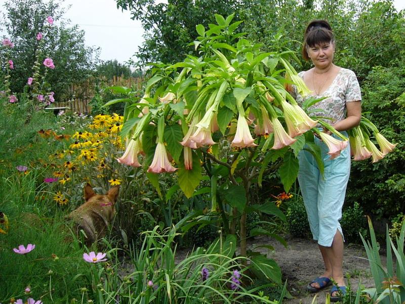 Цветы бругмансия фото