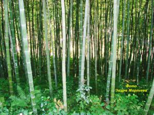 30. Бамбуковая плантация в Чакви на участке Упенек. 2009 г.