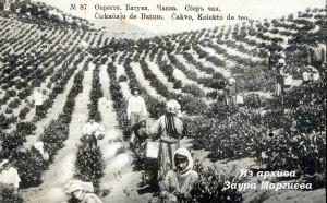 33. Чаква. Сбор чая на плантации
