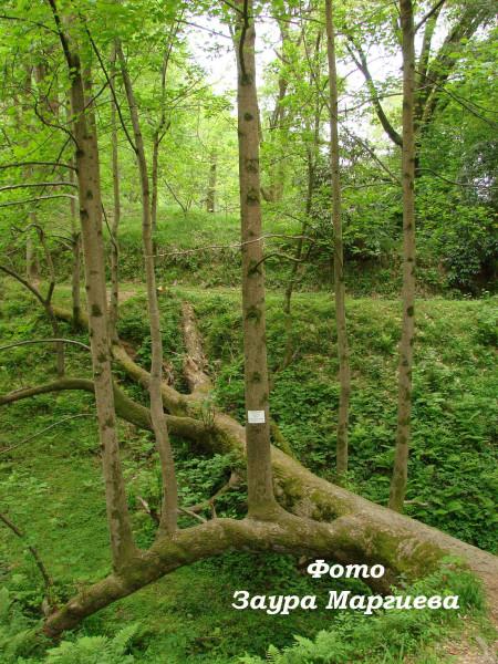 66. Упавшее несколько лет назад дерево продолжает расти и удивлять посетителей