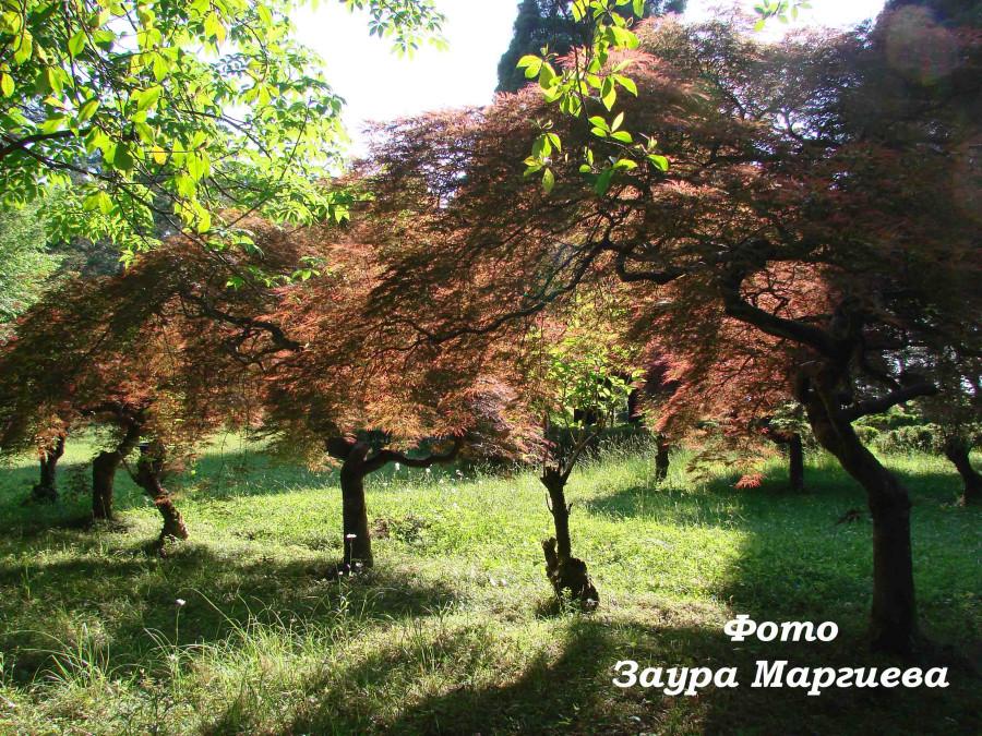 82. Японский  клен в ботаническом саду.