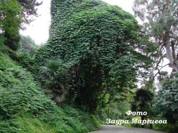 83 Дерево над дорогой обвитое пуэрарией
