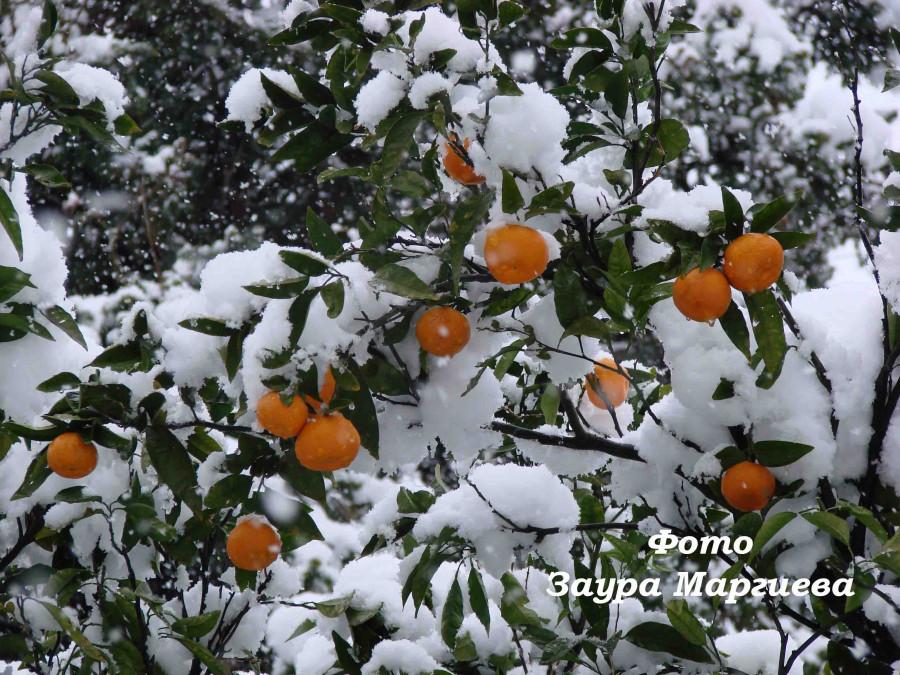 99 Мандарины в снегу
