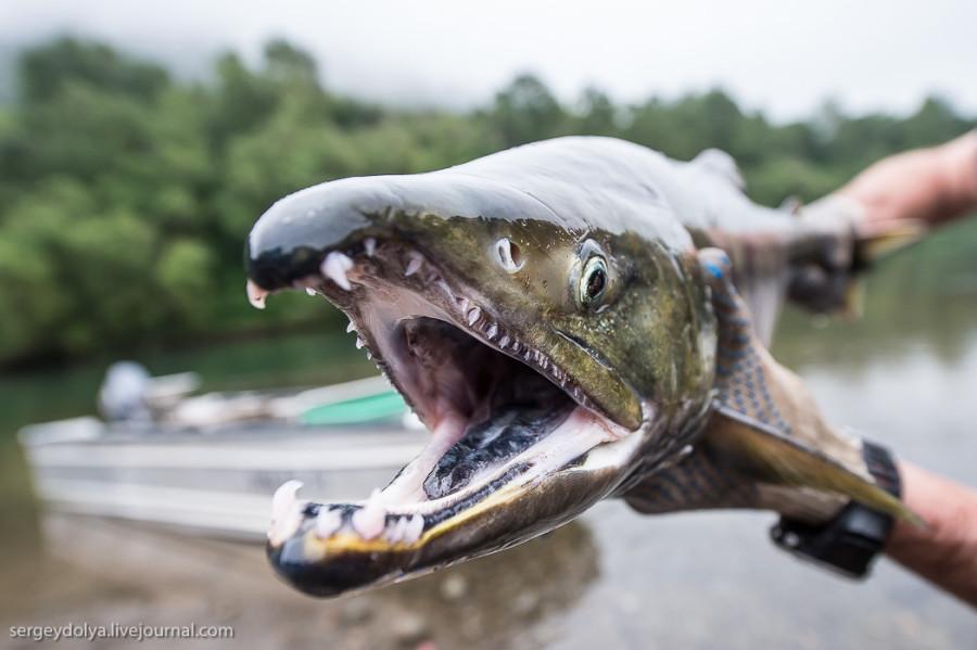 ZAVODFOTO из ЖЖ: О рыбном производстве... Камчатка. Лосось