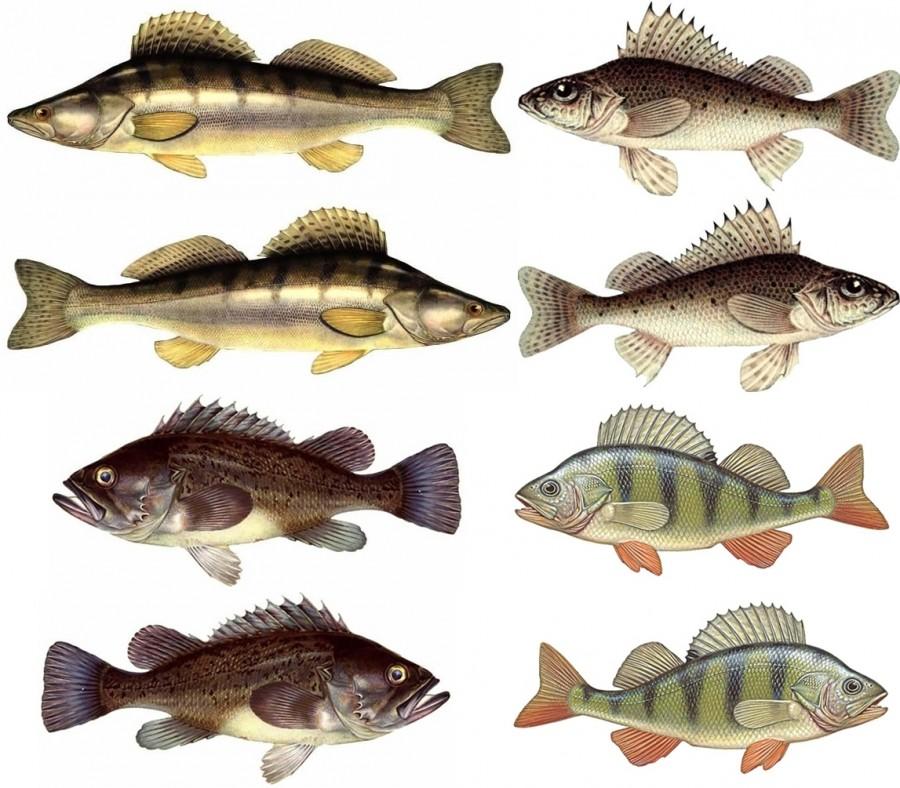 Аквариумные и речные рыбы картинки