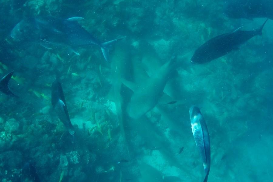 Как я с акулами плавала. Видео заплыва и акул