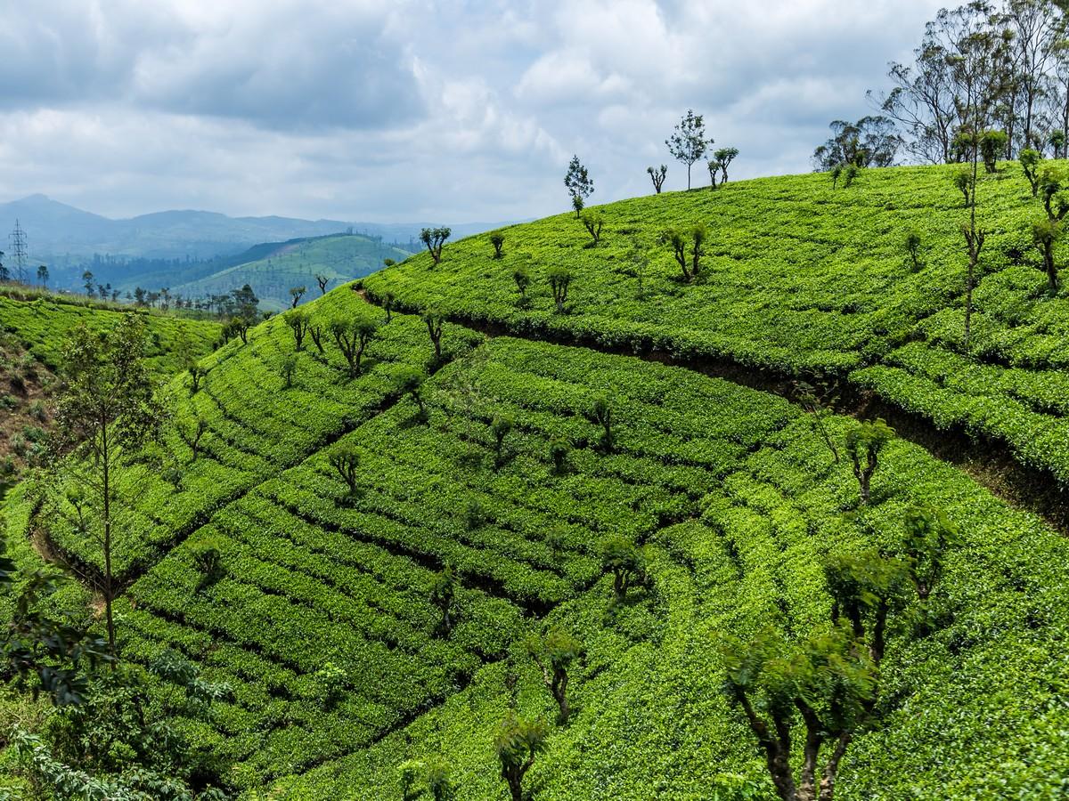 Шри-Ланка. Часть 3. Поездатый чай.
