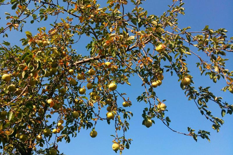 Одна из яблонь.