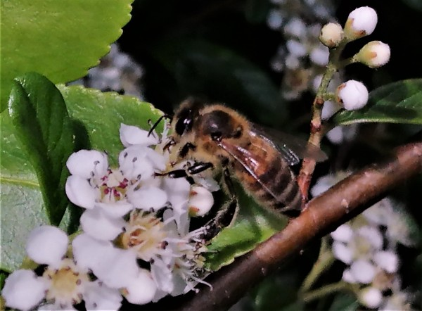 пчёлочка