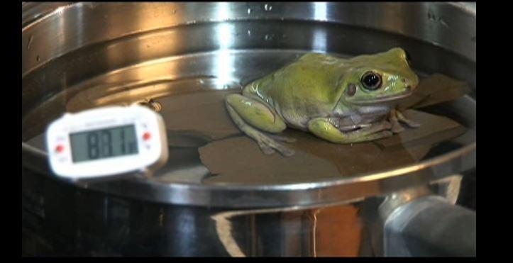 Как правильно объяснить лягушке, зачем ее варят?
