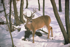 17_Deer