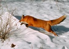 35_Fox
