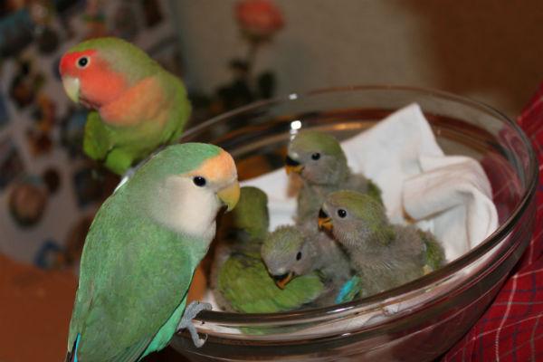 Неразлучники попугаи в домашних условиях содержание