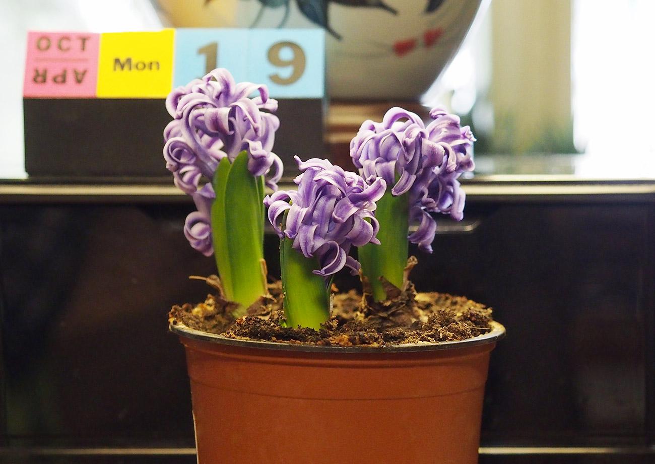 Hyacinthus1Web