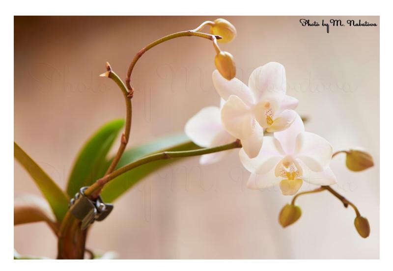 орхидея14.jpg