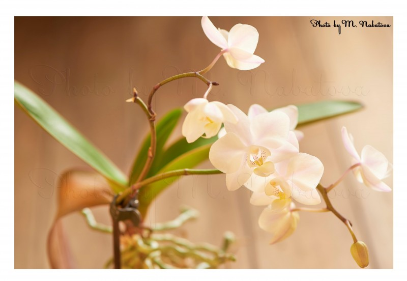 орхидея16.jpg