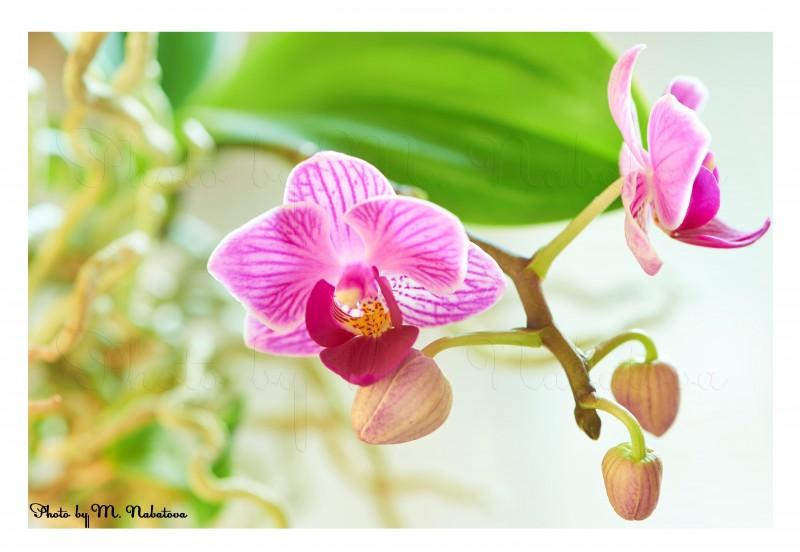 орхидея17.jpg