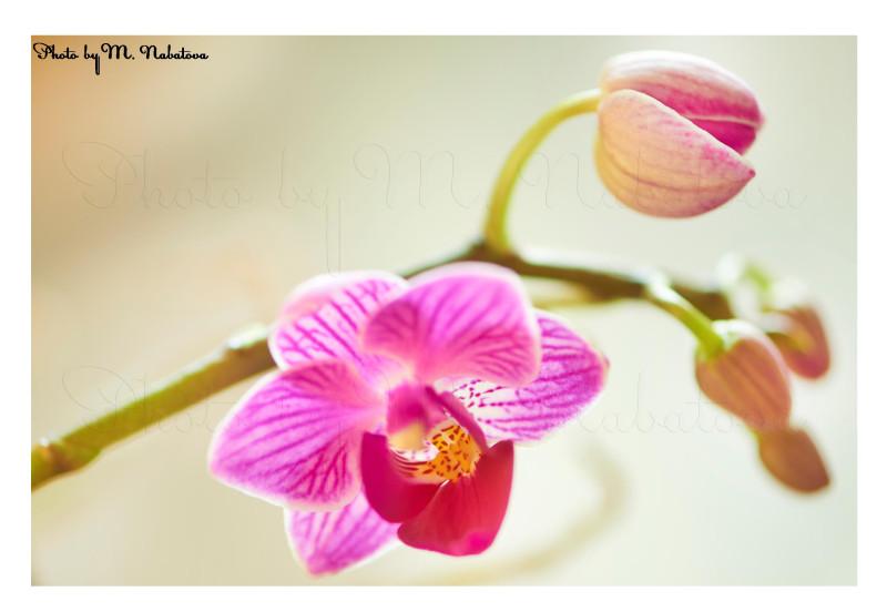 орхидея18.jpg