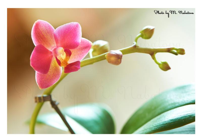 красная орхидея.jpg