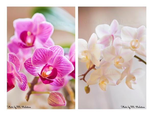 орхидеи2