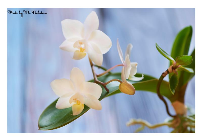 орхидея.jpg