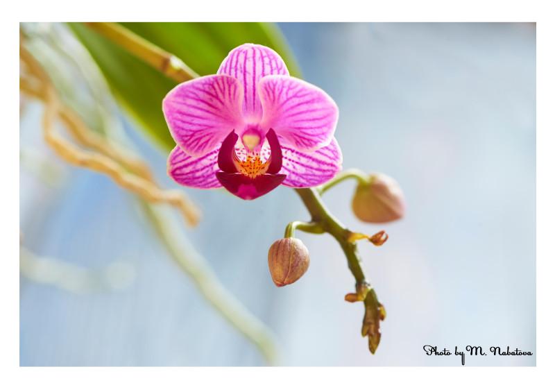 орхидея1.jpg