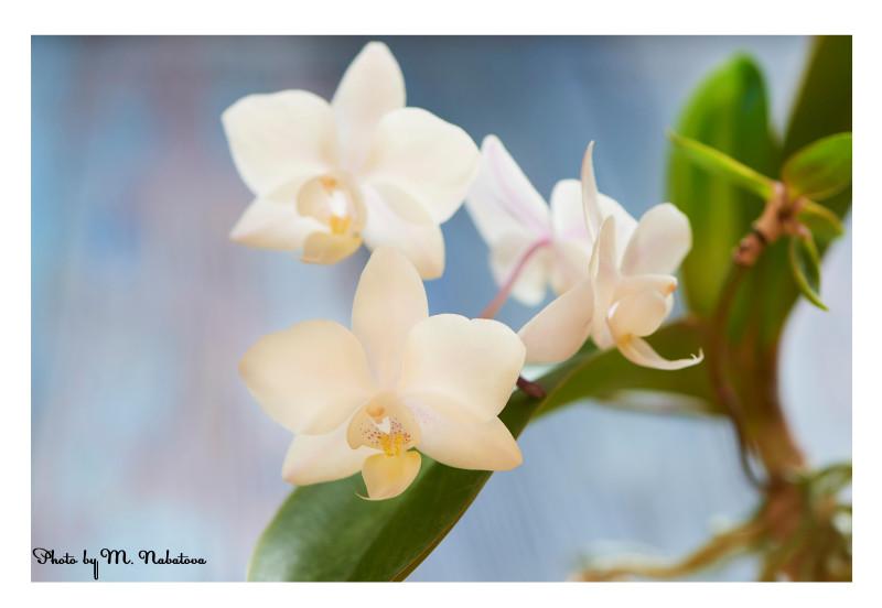 орхидея3.jpg