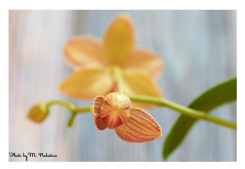 орхидея7.jpg