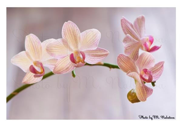орхидея4.jpg