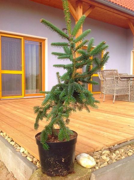 елка (597x800)