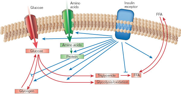 insulin-paths[1]