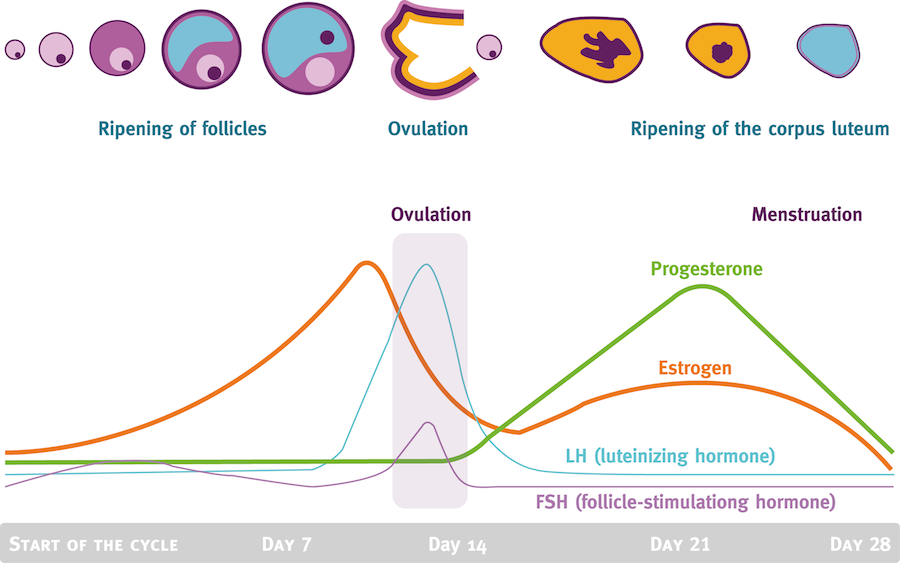 precision-nutrition-menstrual-cycle-phases