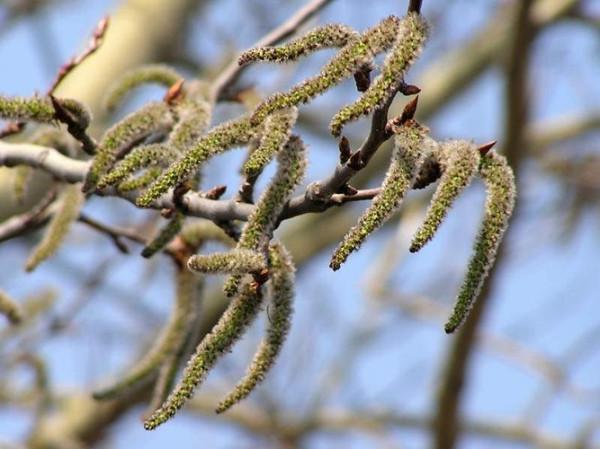 Весна! Собираем почки деревьев!