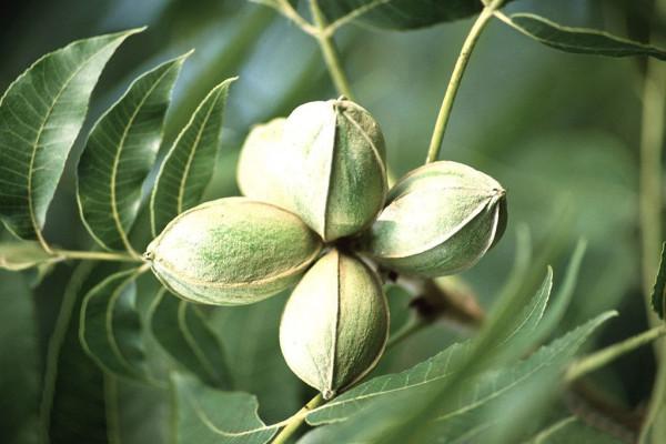 Орех пекан - нежный родственник грецкого