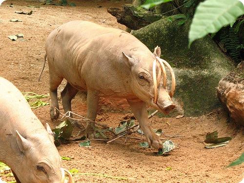 Бабирусса - ночная свинья
