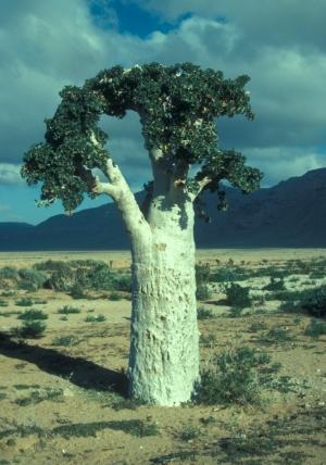 Какие вкусные деревья! .....