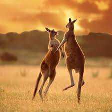 Австралийский бумер