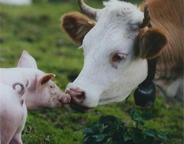 Добрая корова и свинья