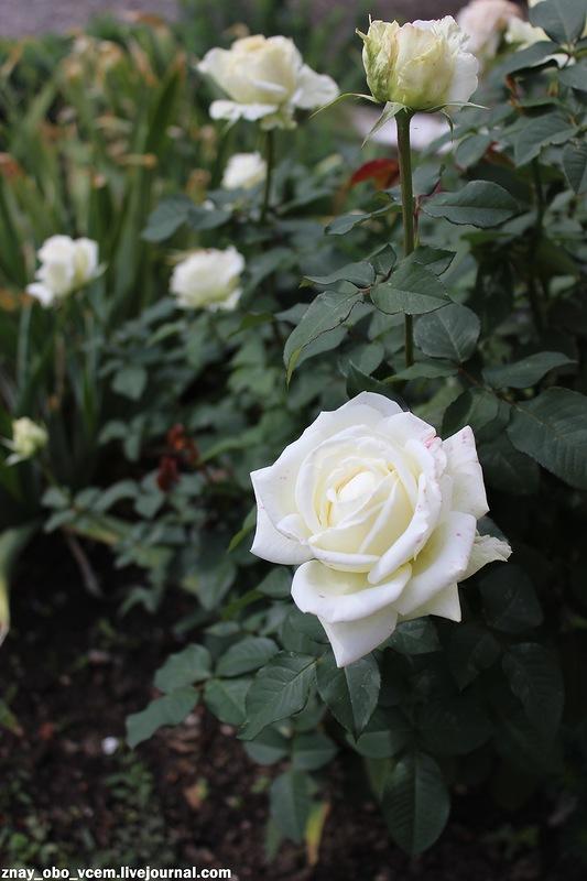 Розы ещё цветут!
