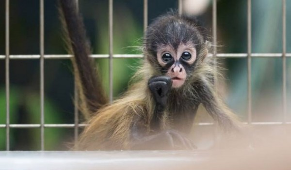 Коата Жоффруа - паукообразная обезьянка