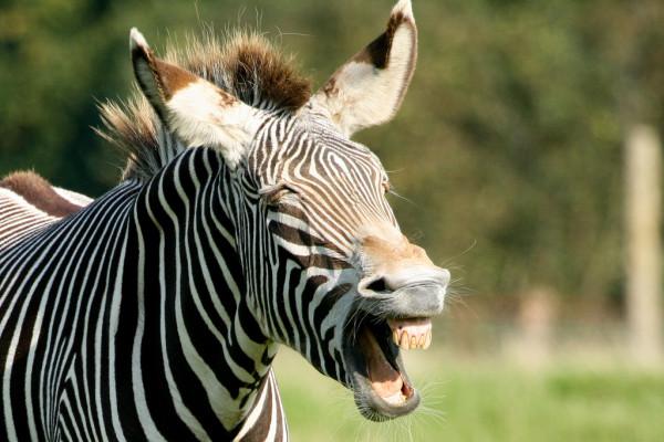 Смех животных