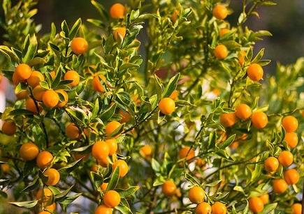 Кумкват - цитрусовый малютка