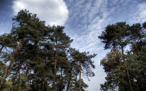 Хвойные деревья изо всех сил стараются создать как можно больше облаков