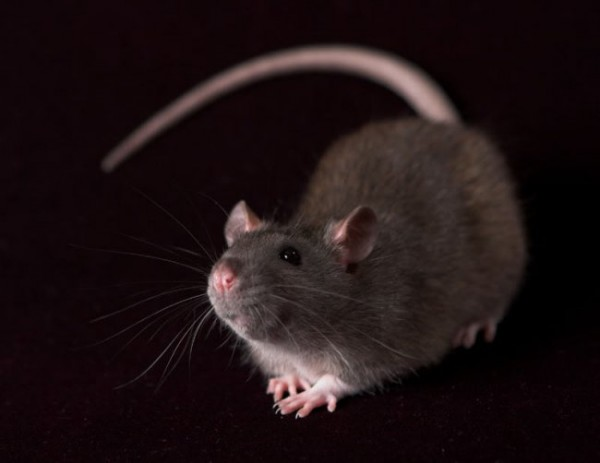 Крысиная цивилизация развивается быстрее человеческой?...