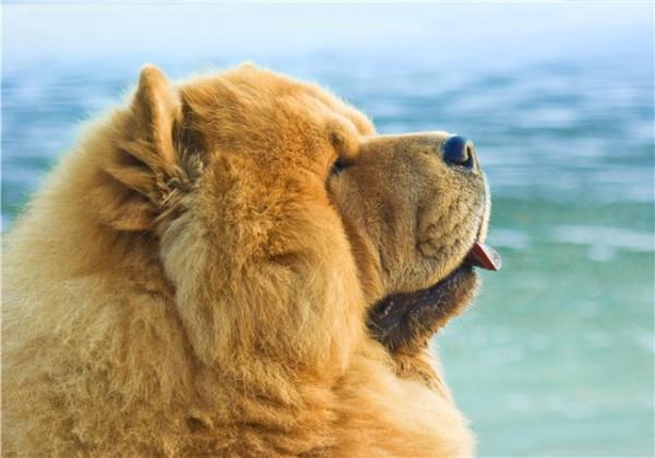 Чау-чау - неподкупный сторож, пастух, упряжная собака, защитник от злых духов