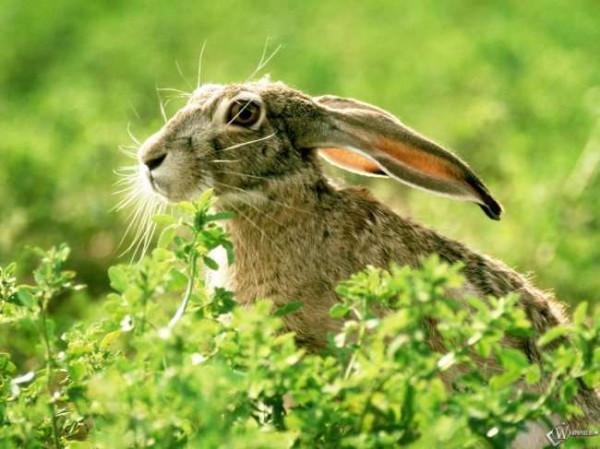 Настоящий заяц - полухищник и царь зверей в миниатюре