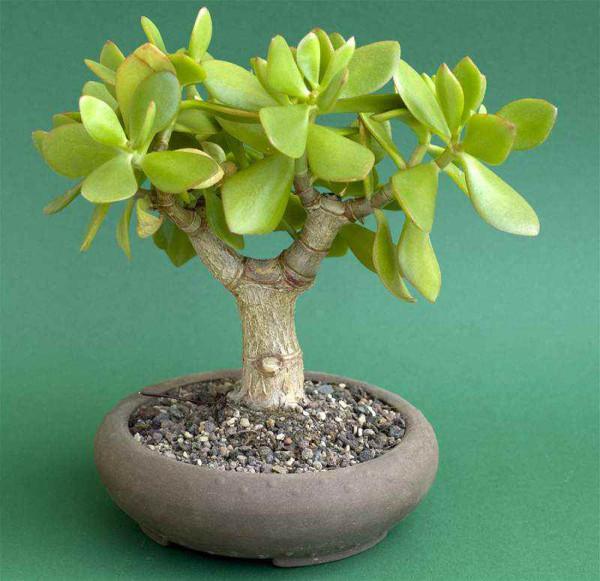 Денежное дерево - достаток и здоровье