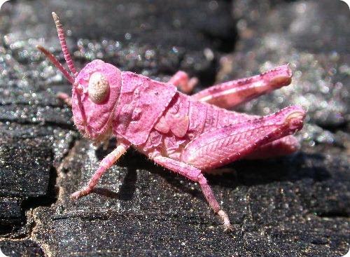 Кузнечик - розовый!