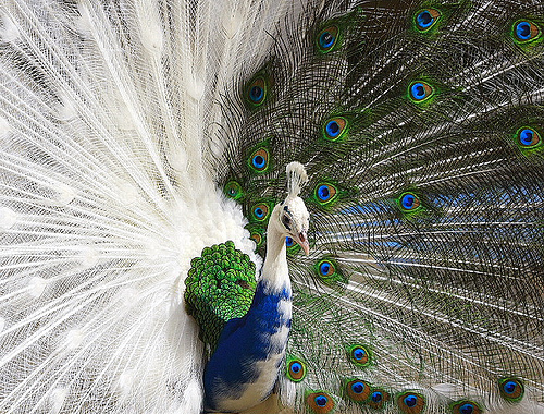 peacock_photo